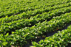 Strawberry plant in row. Green strawberry plants and fruits growing in field Stock Photography