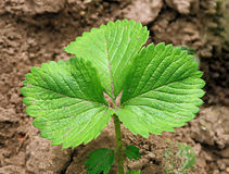 Strawberry plant sprout in soil Royalty Free Stock Photos