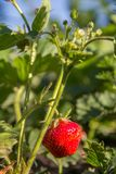 Strawberry plant. Stawberry bush with ripe berry. Strawberry plant. Stawberry bush at garden with ripe berry and foliage on the background. Shallow depth of royalty free stock photo