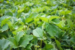 Strawberry plant strawberry leaves Stock Photos