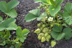 Strawberry plant in strawberry patch, with white flowers and green fruit. Stock Photo