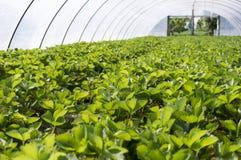 Strawberry Plant. Royalty Free Stock Image