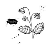 Strawberry plant vector drawing. Isolated hand drawn berry bush Royalty Free Stock Images