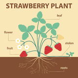 Strawberry plant. Vector illustration showing parts of strawberry whole plant - agricultural infographic strawberries scheme with labels for education of biology Royalty Free Stock Image