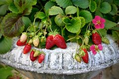 Strawberry plant in the vintage pot Royalty Free Stock Photo