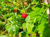 Strawberry plant. Wild stawberry bushes. Strawberries in growth at garden. Ripe berries and foliage strawberry. Farm, juicy, leaf, fruit, natural, green stock images