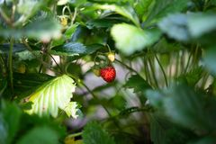 Strawberry plant. Wild stawberry bushes. Strawberries in growth at garden. Ripe berries and foliage strawberry stock photo