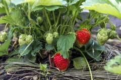 Strawberry plant. Wild stawberry bushes stock photo