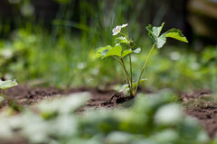 Free Strawberry Plant With Flower Stock Photos - 14346653