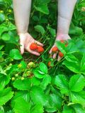 Strawberry plant in woman hands Royalty Free Stock Photos