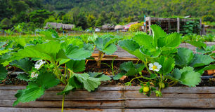 Strawberry plant on field. Strawberry plant on wood gutter Royalty Free Stock Image