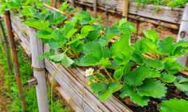 Strawberry plant on field. Strawberry plant on wood gutter stock image