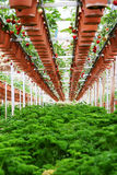 Strawberry Plantation. Rows of strawberries plantation with parsley growing underneath royalty free stock photography