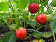 Strawberry plantation Stock Images