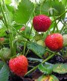 Strawberry plantation Stock Images