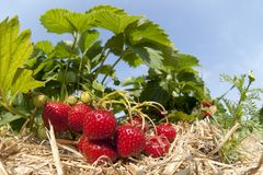 Strawberry plantation Royalty Free Stock Photography