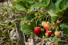 Strawberry plantation. At Chiang Kan district, Loei province, Thailand royalty free stock images