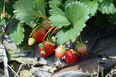 Strawberry plantation. At Chiang Kan district, Loei province, Thailand royalty free stock photo