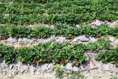 Strawberry plantation. At Chiang Kan district, Loei province, Thailand stock photo