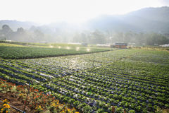 Strawberry plantation field in the mountain. Chiang Mai. Royalty Free Stock Photo