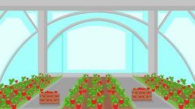 Strawberry Plantation in Greenhouse Illustration stock illustration