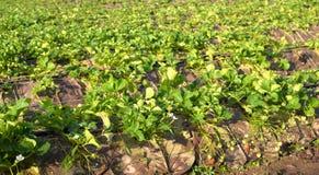 Strawberry plantation Stock Image