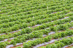Strawberry plantation Royalty Free Stock Photos