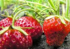 Strawberry plantation Royalty Free Stock Images