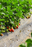 Strawberry plantation Stock Photos