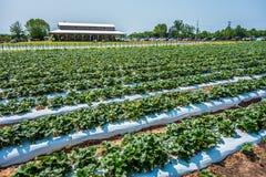 At Strawberry plantation on a sunny day Stock Photos
