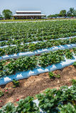 At Strawberry plantation on a sunny day Stock Images