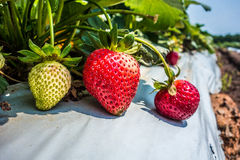 At Strawberry plantation on a sunny day Stock Image