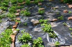 Strawberry planting Royalty Free Stock Photo