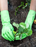 Strawberry Planting Royalty Free Stock Images