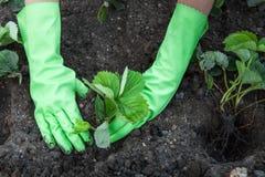 Strawberry Planting Royalty Free Stock Photos