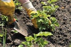 Strawberry Planting stock image