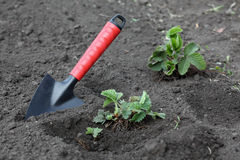 Strawberry Planting Stock Image