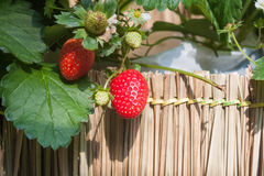 Strawberry with planting strawberry background Stock Photos
