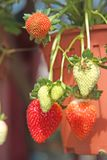Strawberry Plants Royalty Free Stock Photo
