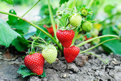 Strawberry plants Stock Images