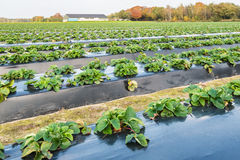 Strawberry plants in autumn Royalty Free Stock Image