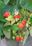 Strawberry plants, balcony garden Royalty Free Stock Photos