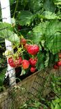 Strawberry Plants Royalty Free Stock Images