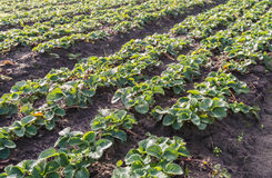 Strawberry plants in convergings rows in the field Royalty Free Stock Images