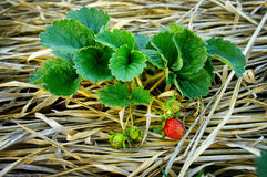 Strawberry plants in the farm Stock Image