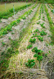 Strawberry plants farming Royalty Free Stock Images