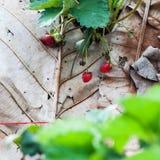 Strawberry plants Stock Photos
