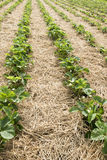 Strawberry plants on field Royalty Free Stock Image