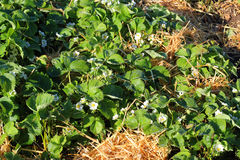 Strawberry plants on flower. Stock Photography