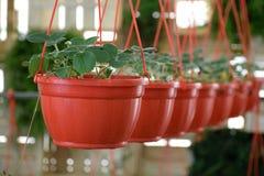 Strawberry plants in flowerpots Stock Photos